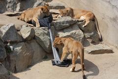 Львы и тигры в японском зоопарке стали модельерами